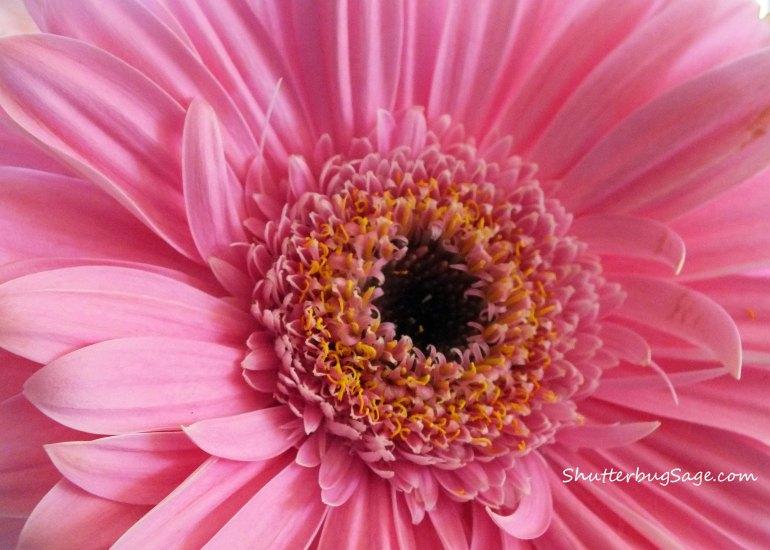Gerbera Daisy_edited-1