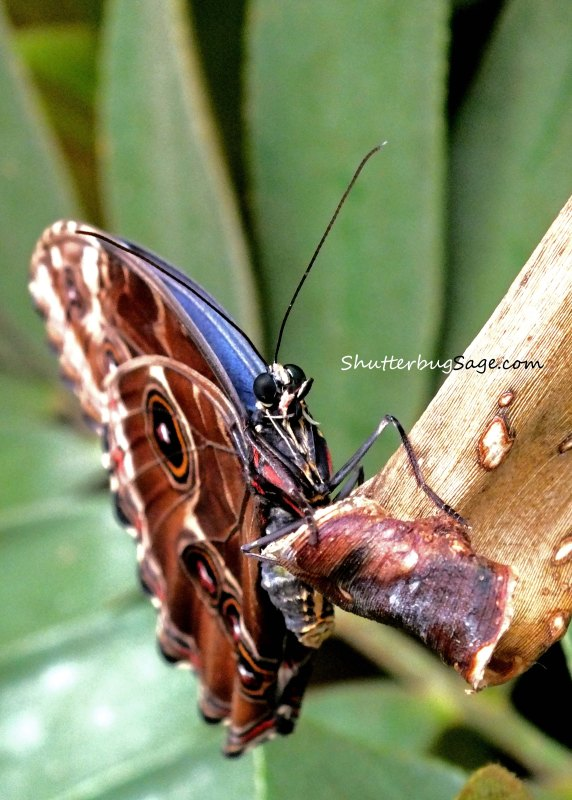 Blue Morpho 12_edited-1