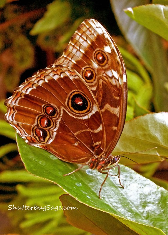 Blue Morpho 13_edited-1