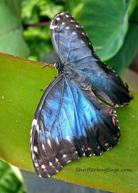 Blue Morpho 14_edited-1