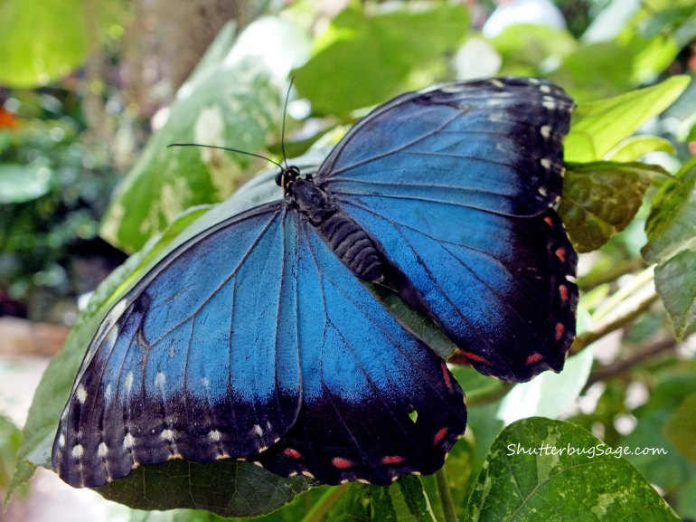 Blue Morpho 15_edited-b