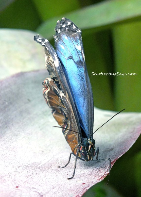 Blue Morpho 2_edited-1