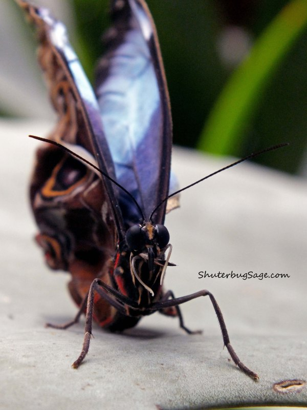 Blue Morpho 5_edited-1