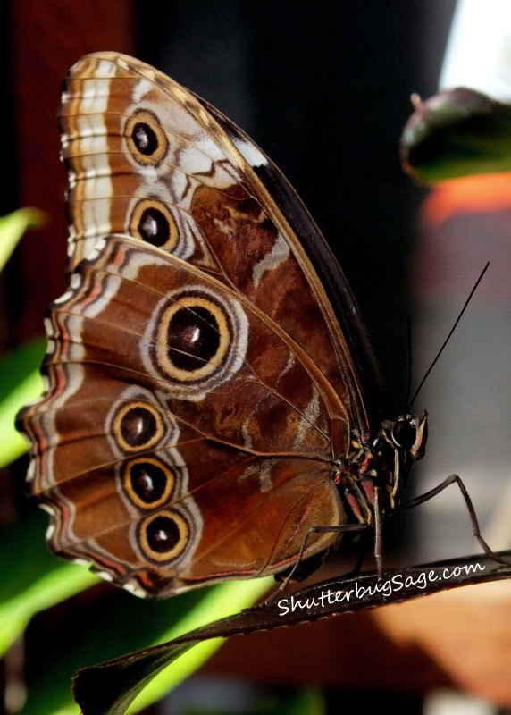 Blue Morpho 6_edited-1