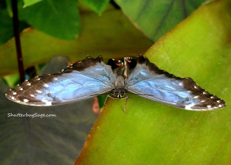 Blue Morpho 9_edited-1