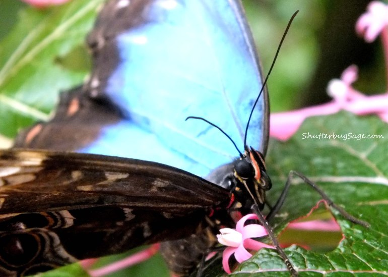 Blue Morpho_edited-1