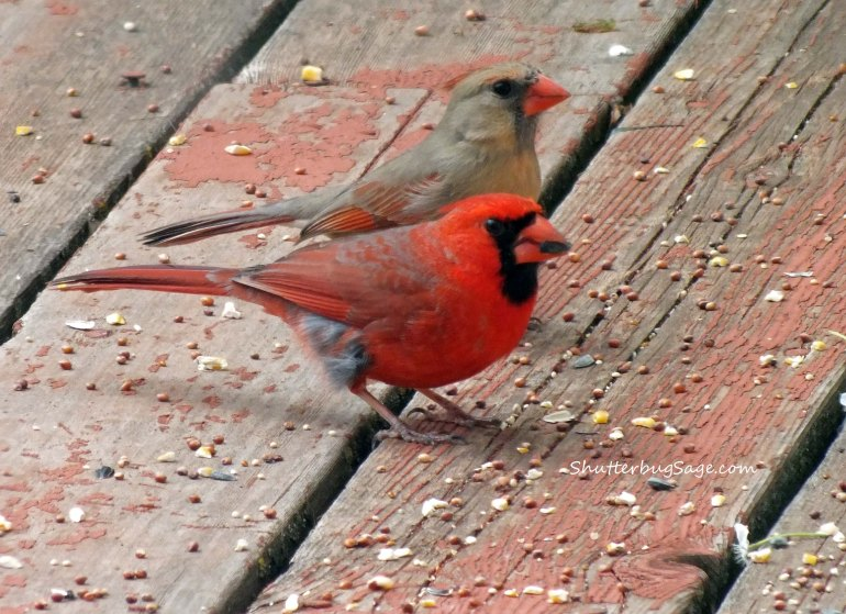 Cardinal Couple_edited-1