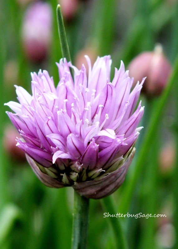 Chive 4_edited-1