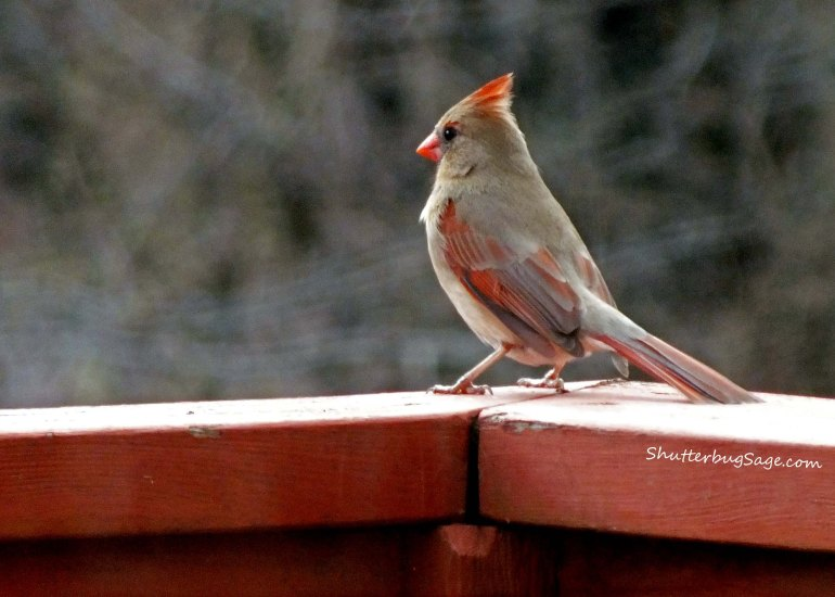 Female Cardinal 4_edited-1