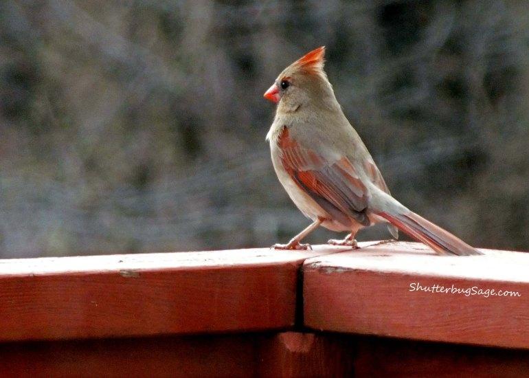 Female Cardinal 4_edited-1