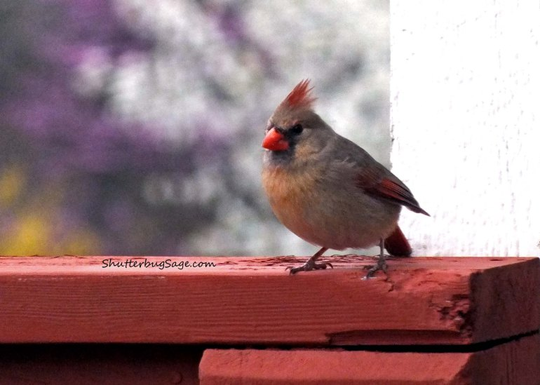 Female Cardinal 5_edited-1