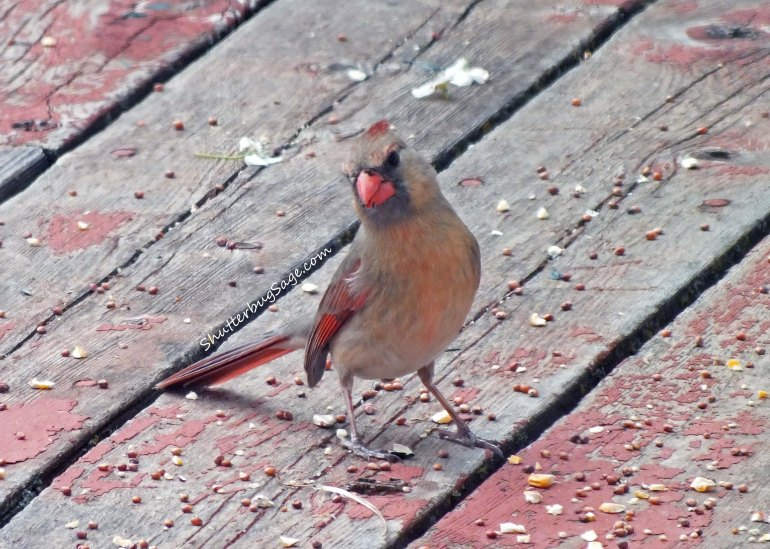 Female Cardinal 6_edited-1