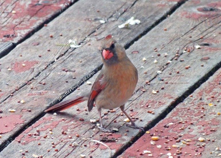 Female Cardinal 6_edited-1