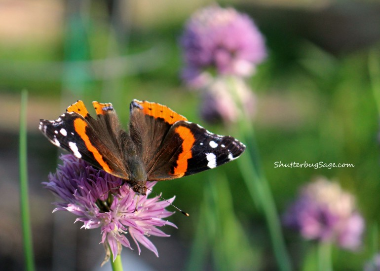 Butterfly on Chive_edited-1