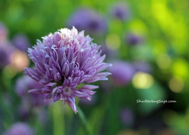 Chive Flower_edited-1