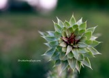 Unbloomed Thistle