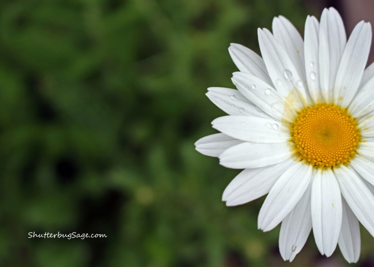White Daisy_edited-1