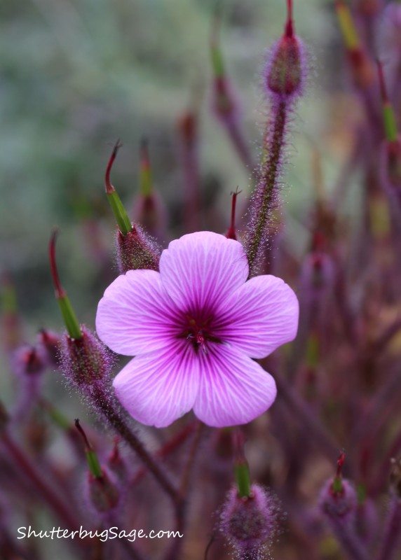 Hairy Pink Flax 2_edited-1