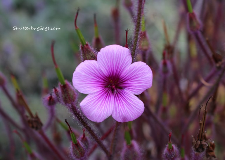 Hairy Pink Flax_edited-1