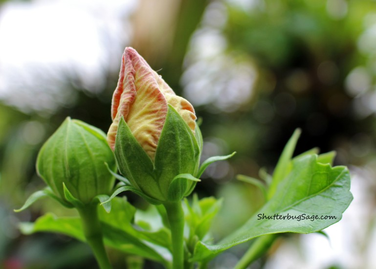 Hibiscus 2_edited-1