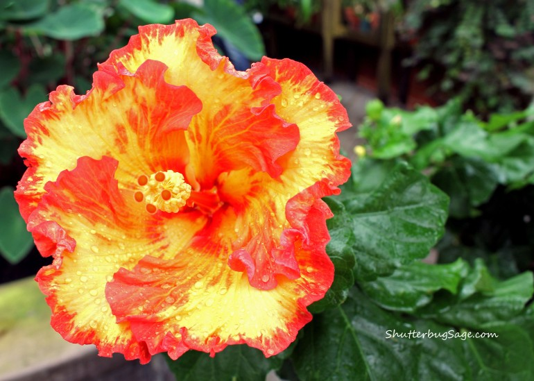 Hibiscus 3_edited-1