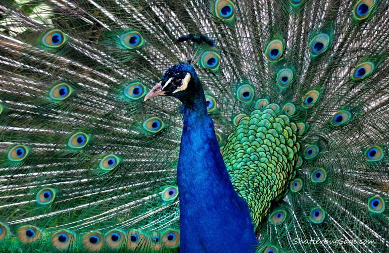 Peacock 6_edited-1