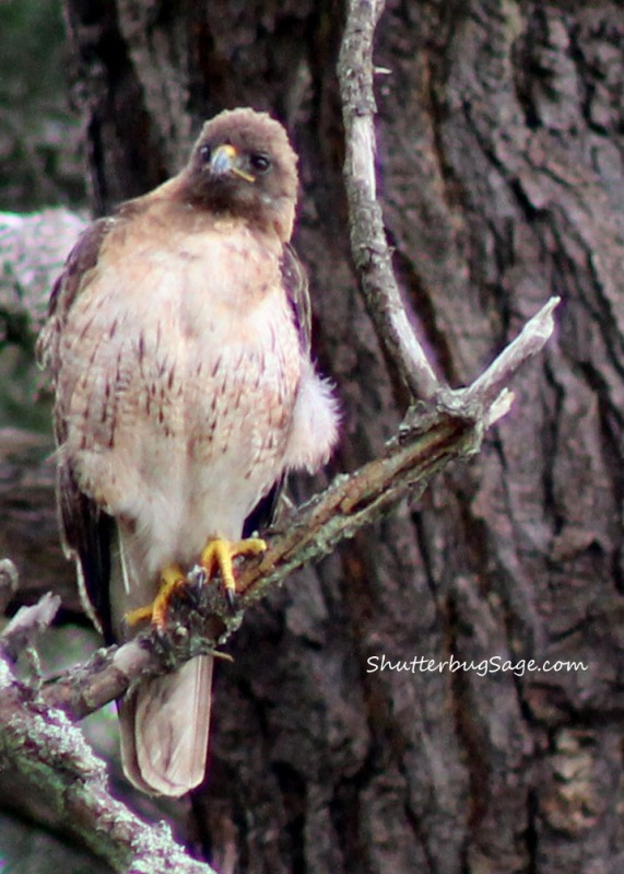 Red Tail Hawk in GGP_edited-1