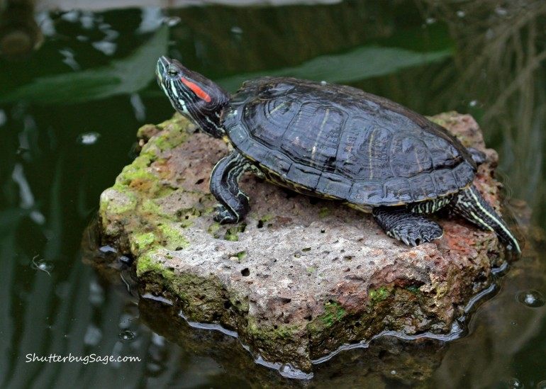 Turtle at Flower Conservatory_edited-1