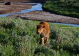 Yellowstone Park: Baby Bison