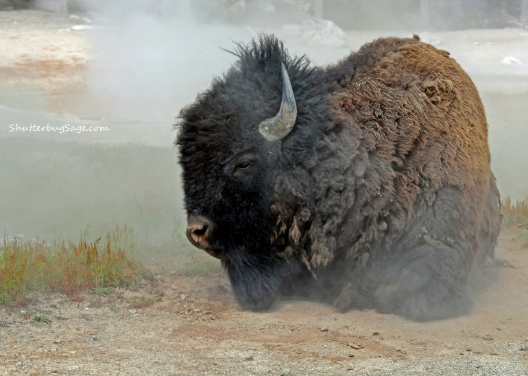 Bison Rolling in Dirt_edited-1
