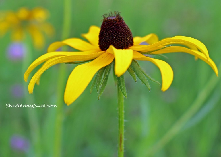 Black Eyed Susan_edited-1