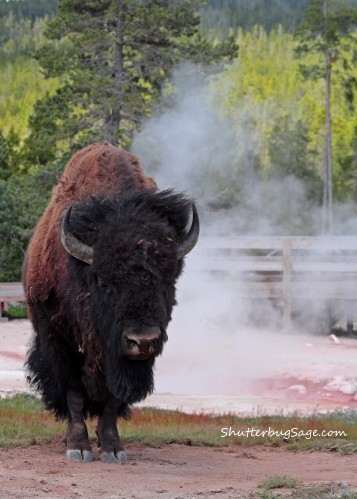 Buffalo by Red Spouter in Lower Geyser Basin at Yellowstone National park