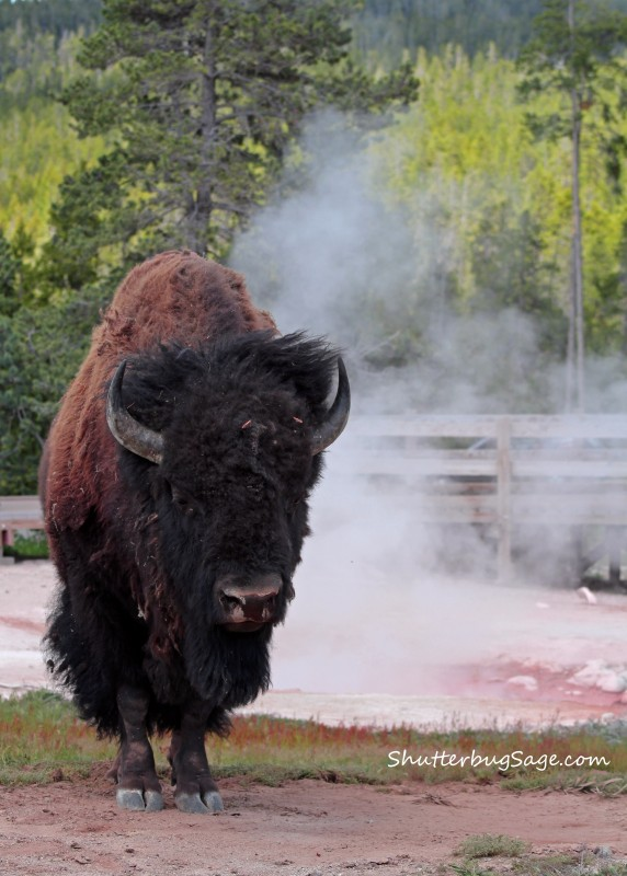 Buffalo by Red Spouter in Lower Geyser Basin_edited-2