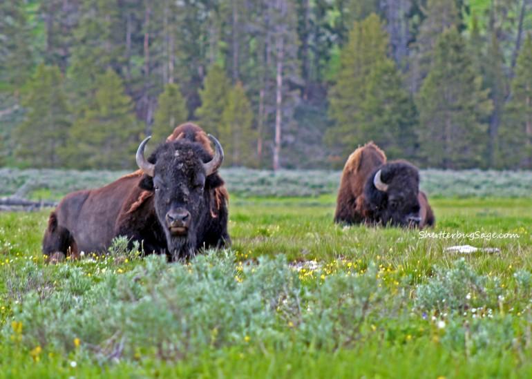 Buffalo in Meadow Take 2_edited-1