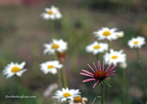 Coneflower and Daisies_edited-1