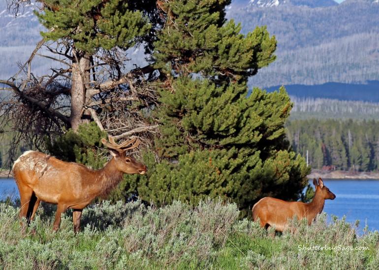 Elk Couple_edited-1