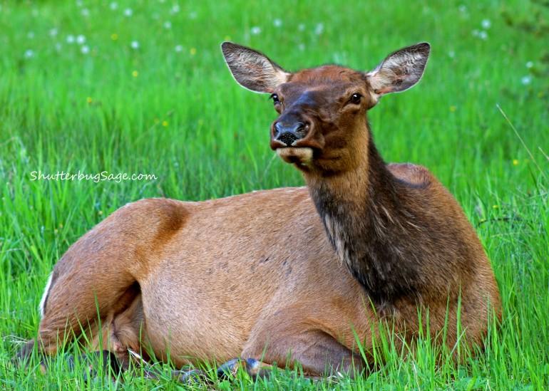 Momma Elk_edited-1