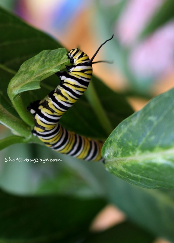 Hungry Little Monarch Caterpillar_edited-1