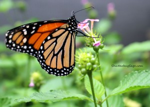 Monarch_edited-1