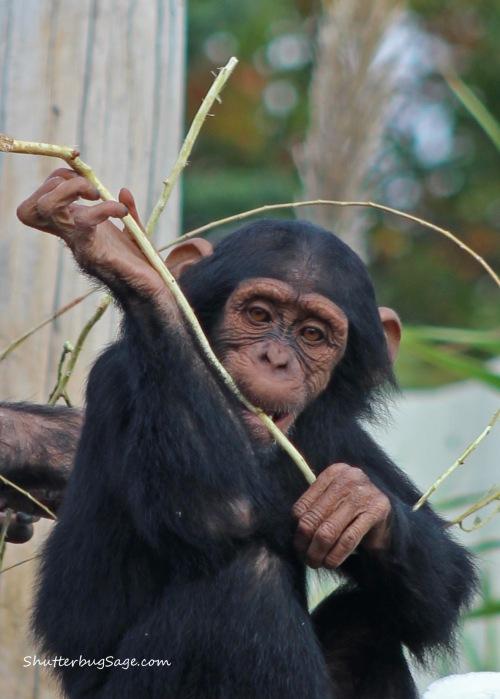 Sunset Zoo in Manhattan, Kansas - Chimpanzee