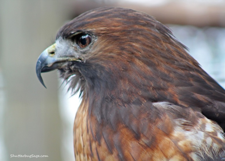 Hawk 1_edited-1