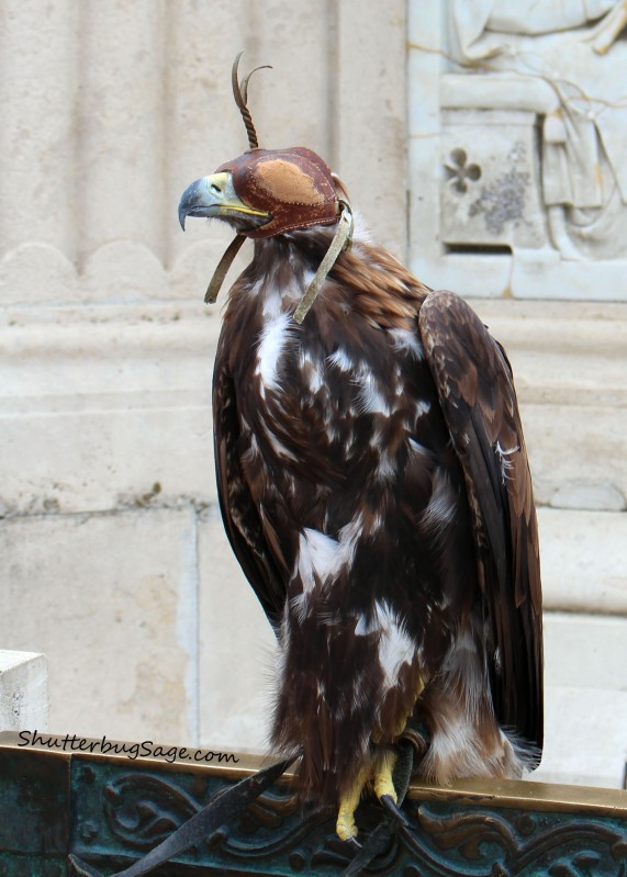 Hawk by Fishermans Bastion_edited-1