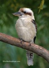 Sunset Zoo:  Kookaburra