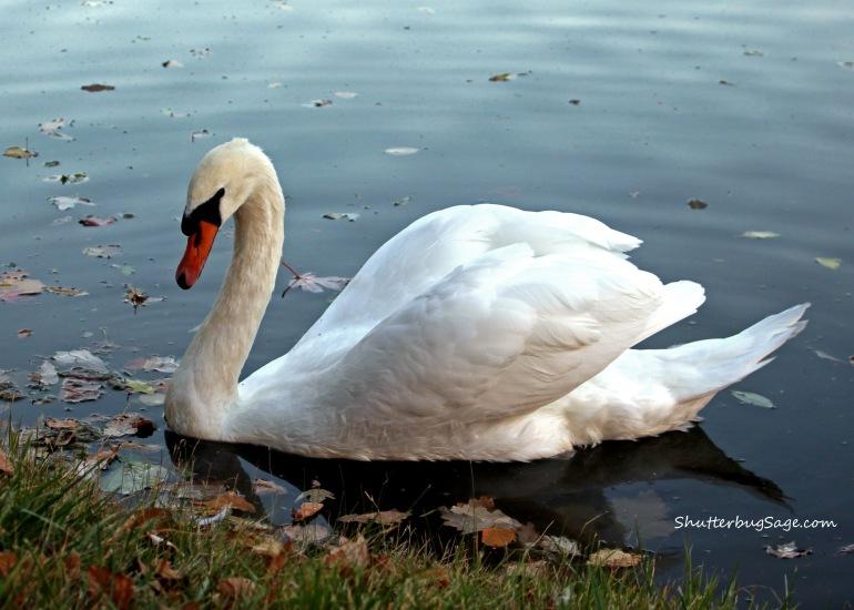 Swan_edited-1