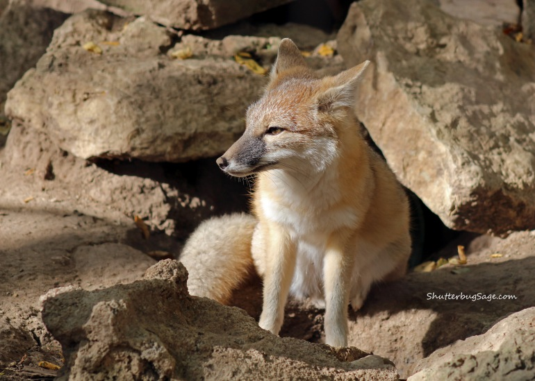 Swift Fox_edited-1