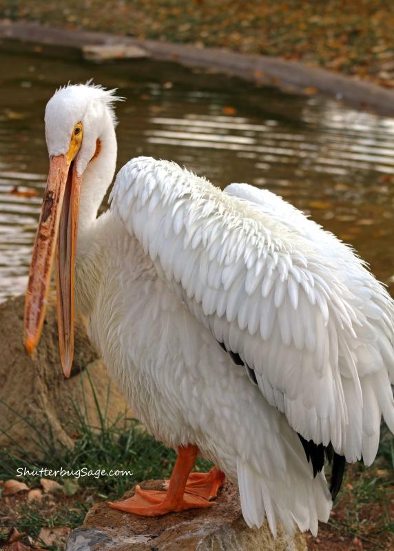 White Pelican_edited-1