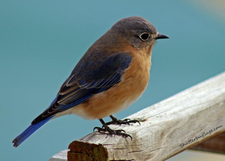 Bluebird_edited-1