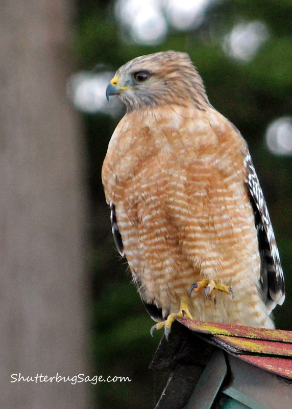 Hawk by Fort Point_edited-1