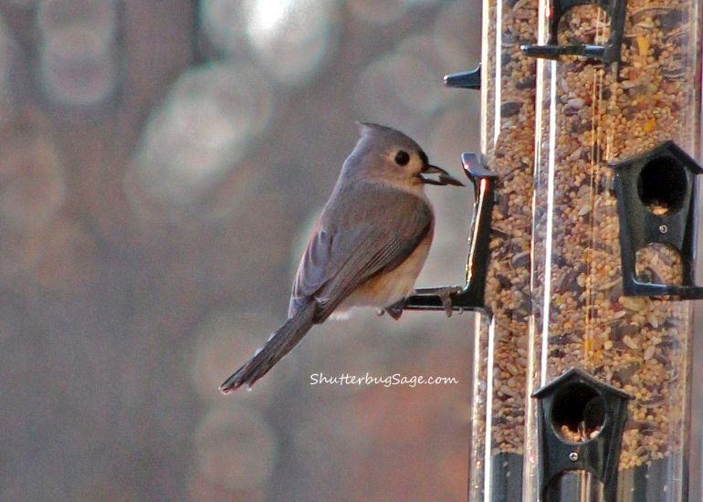 Tufted Titmouse_edited-1