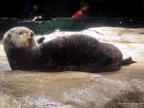 Georgia Aquarium - Gracie the Sea Otter